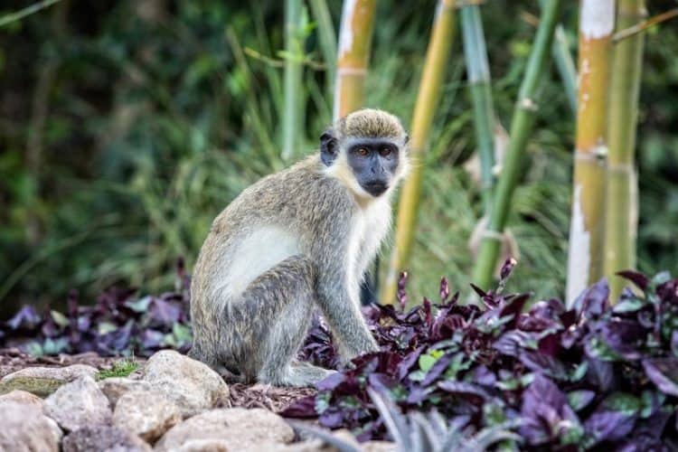 African Green Vervet Monkeys out number people on Nevis
