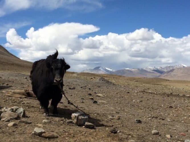 Yak resting near Lake Chaqumatin, Afghanistan.