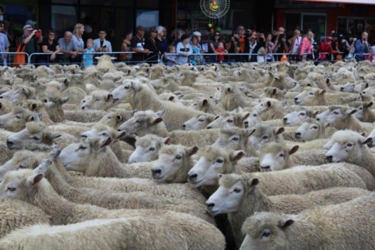 A river of sheep in New Zealand.
