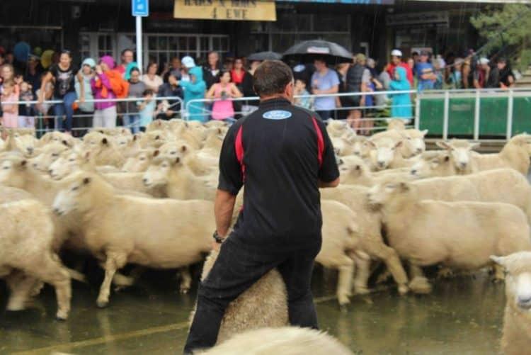 Catching a sheep to shear.