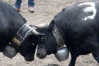 A Cow Fight in Aproz, Switzerland–Who Knew?