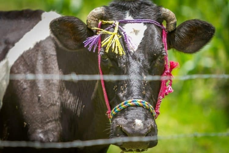 A milk cow with a bright bridle reflecting the colors of the Mayan ancestors.