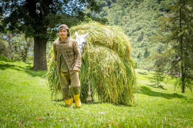 Hand cut grass will be fed to the cattle helping them produce fresh milk in Guatemala.