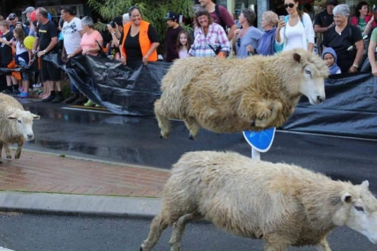 A sheep jumps high during the stampede in the town.