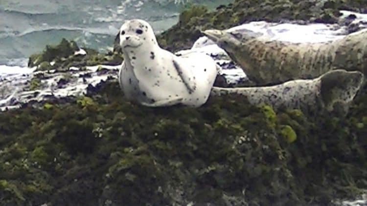 Harbor Seals lounging on the rocks along Coastal Trail, Fort Bragg CA