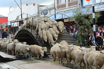 A River of Sheep to be Shorn in New Zealand