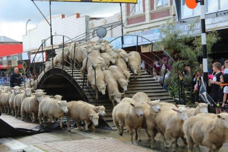 Hundreds of sheep parade down the main street of Te Kuiti, New Zealand. Adam McGhee photos.
