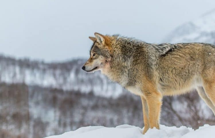 The wolf population in Norway has been decimated by hunters. Photo by Pal Jakobsen.