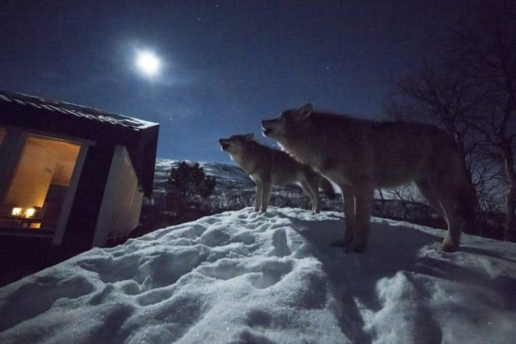 Wolves seen just outside the lodge. Photo by Tommy Simonsen.