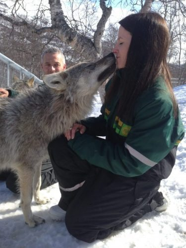 The wolves have been socialized since puppyhood to interact with human visitors. Photo by Polar Park.