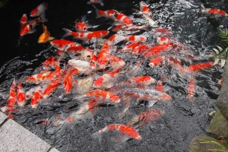 Hungry carp waiting for a hand-out at the Asakusa temple in Tokyo.