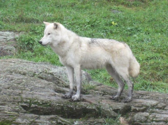 A regal looking arctic fox at Parc Omega.