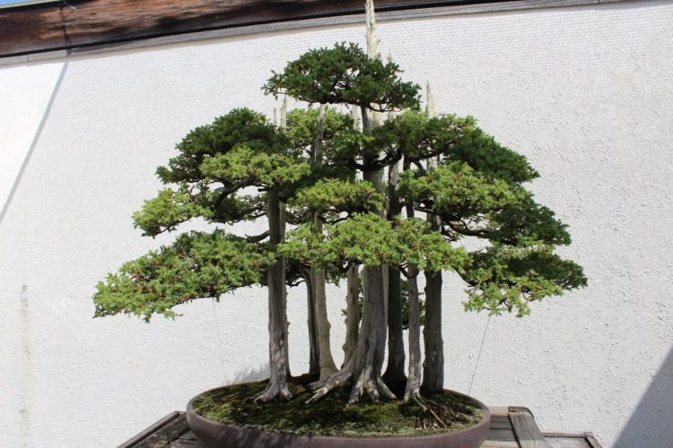 The World's most famous bonsai