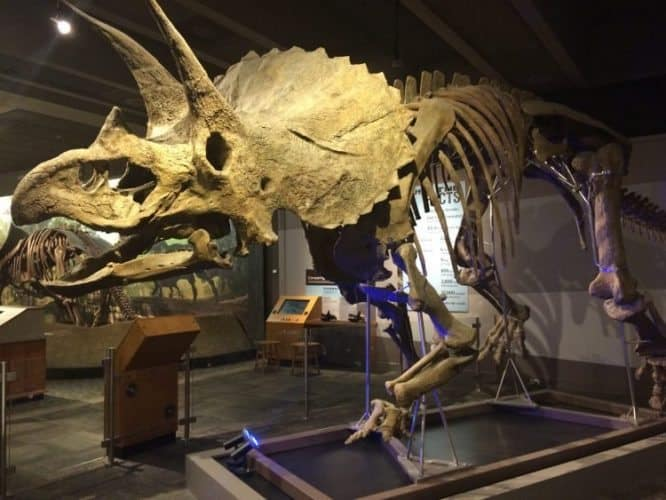 A Triceratops skeleton is one of the many wonders you can find at the Museum of Science