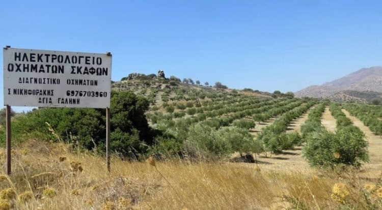 An olive grove, one of thousands that dot the landscape of the Greek island of Crete.