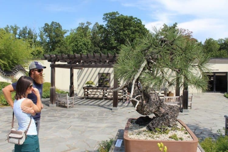 A magnificent pine bonsai at The National Arboretum