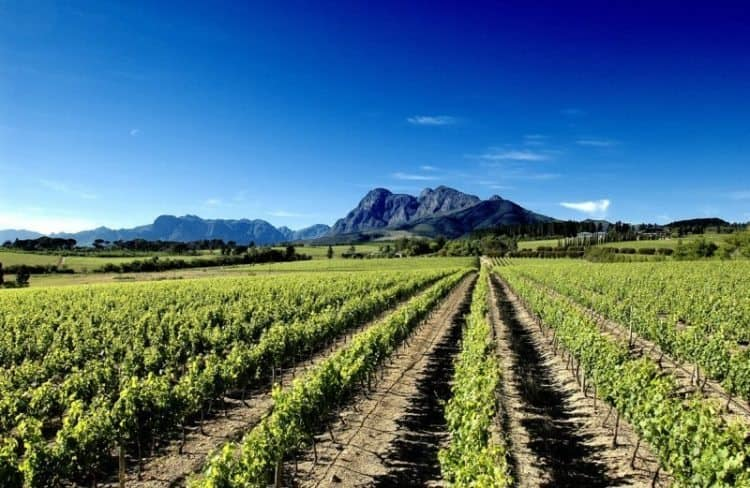 A vineyard in Paarl, South Africa, with the backdrop of the Drakensberg Mountains