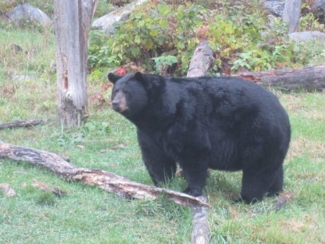The black bears aren't allowed to poke their heads into the passing cars.