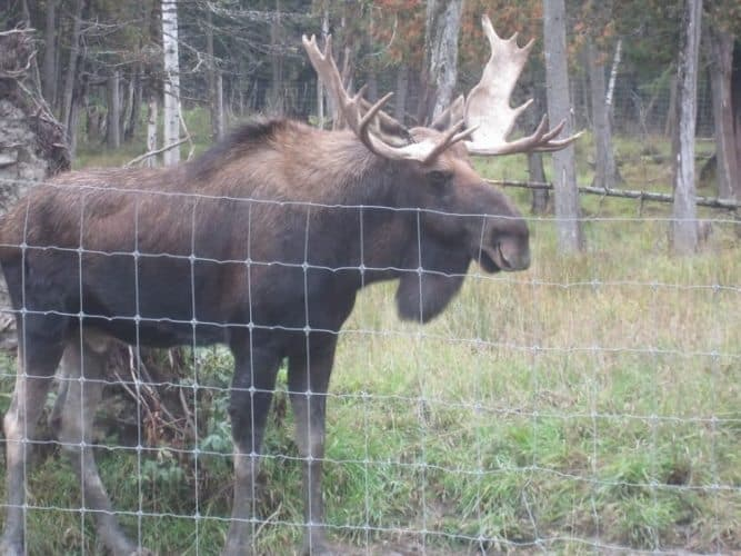 A bull moose behind a fence at the park.