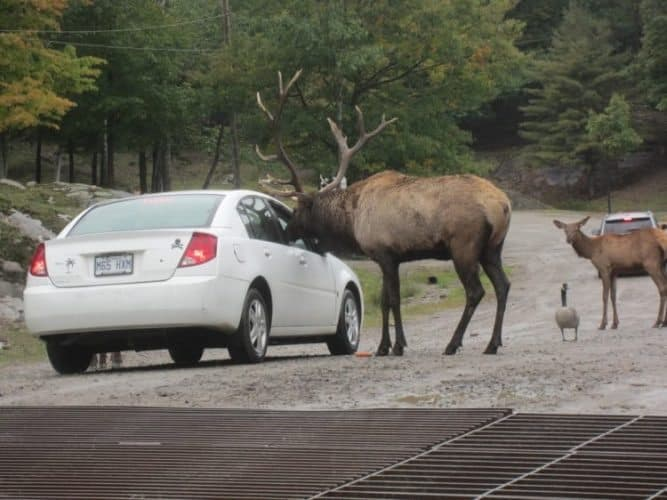 An elk sticks his head in the car window for a carrot at Parc Omega, Ontario's exotic animal park. N.R.Venkatesh photos.