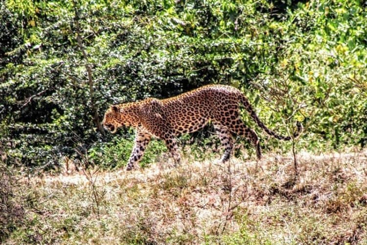 Many make the pilgrimage to Sri Lanka and its Yala National Park for just the chance to spot the rare Sri Lankan leopard. Yala holds the world's largest concentration of the endangered creature.