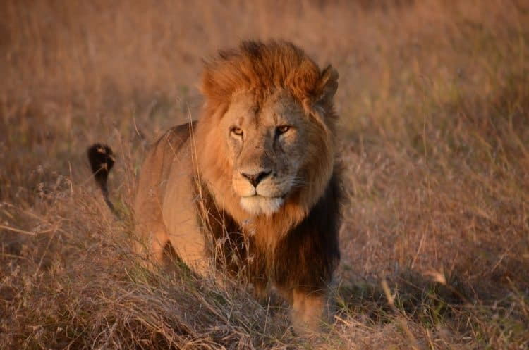 A male lion in Masai Mara.