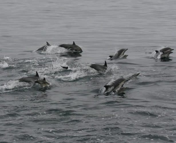 Schools of dolphins are common accompaniments to the ferry out to the Channel Islands.