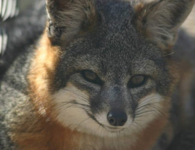 An island fox in the Channel Islands.