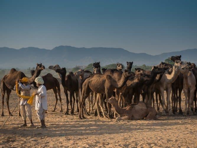A sea of camels.
