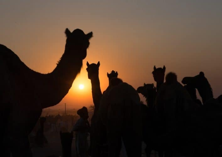 Camels in the setting sun at the end of another day at the Camel fair.