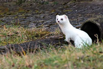 A weasel on the walking trail in Slovenia.