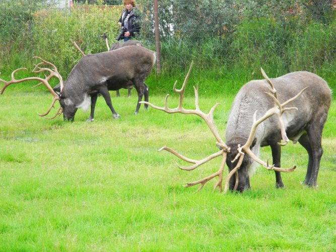Caribou grazing at Alaska Wildlife Conservation Center