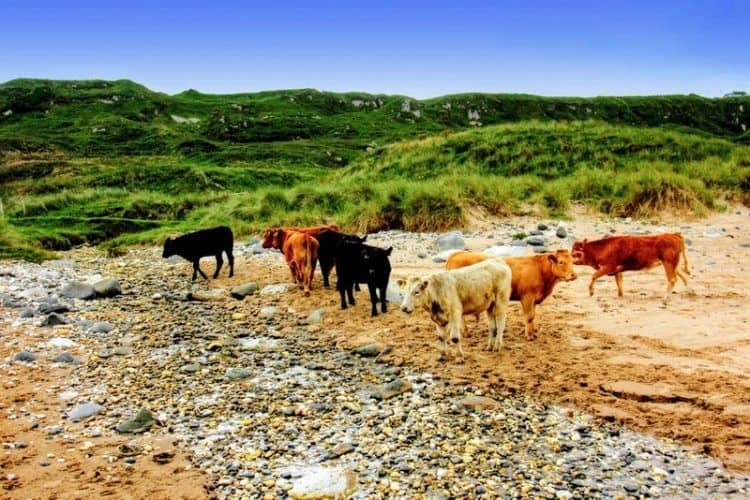 Cows on the beach at White Park Bay, outside of Belfast, Northern Ireland.
