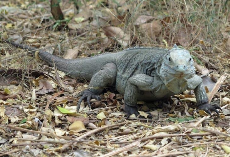 An endangered big blue iguana on Grand Cayman.