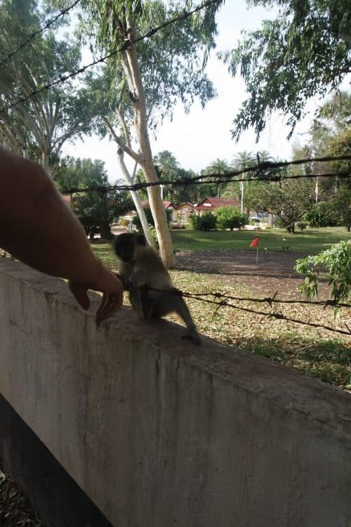 The monkey park in Gambia