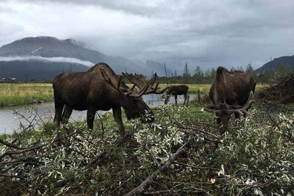 Moose at the Alaska Wildlife Conservation Center
