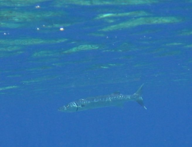 A scary barracuda in Roatan, Honduras.