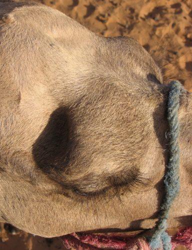 An camel's eyelashes.
