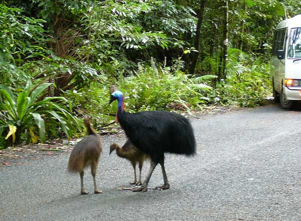 Cassowaries are elusive creatures, you're lucky if you see a male with it's offspring on the side of the road.