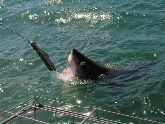 A great white shark one of the animal species you meet around the world.
