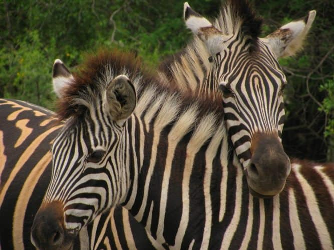 Zebras in Africa.