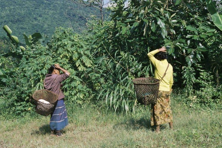 Looking for medicinal herbs in Burma.