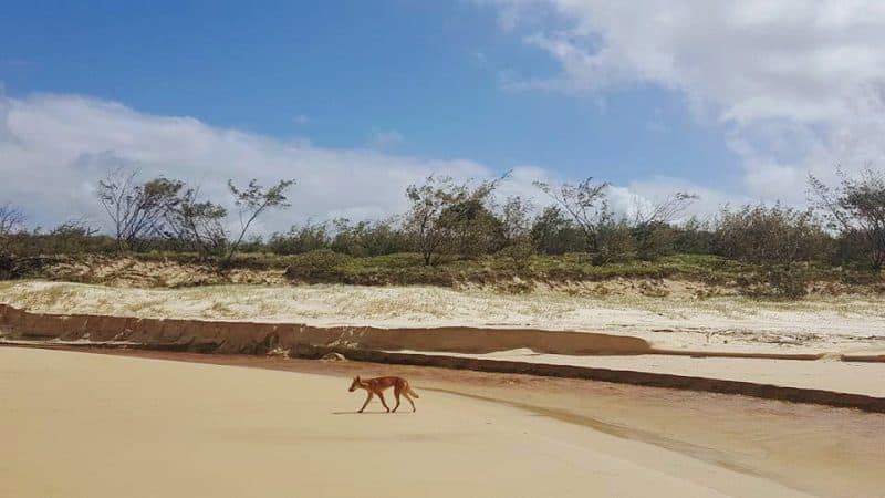 A dingo strolls the dunes on Frazer Island, Australia. Hannah Batson photos.