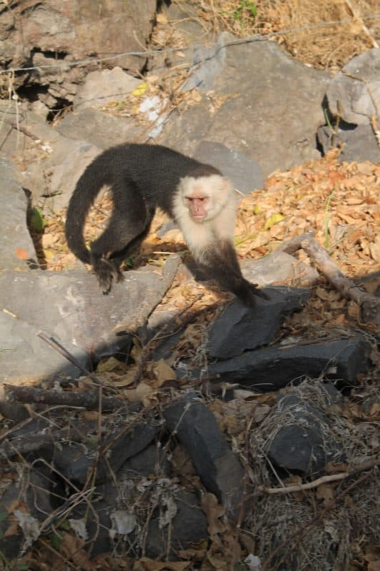 Monkeys are a common site on Ometepe Island, Nicaragua.