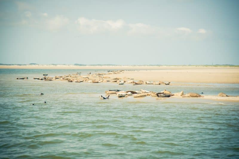 Juist's sandbanks are not only known for housing gray seals and a variety of different bird species but also for acting as migration pit stops for many types of birds. Photo courtesy of juist.de