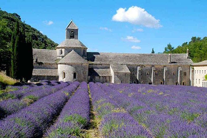 Beautiful rows of lavender flowers near the Rhone River in Provence, France.