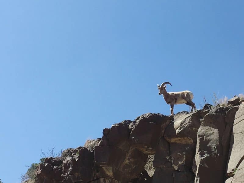 Bighorn sheep in Pilar south of Taos