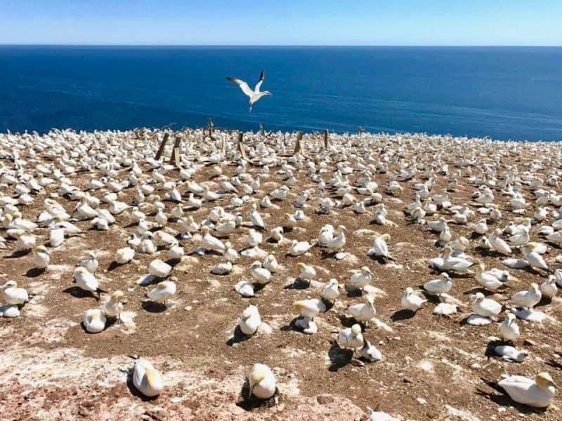 Thousands of gannets nesting at Bonaventure Island off Perce, Gaspe.