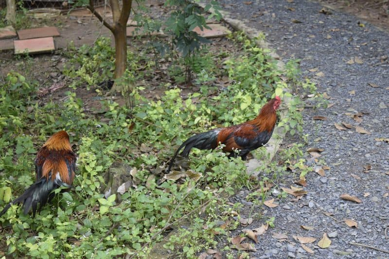 Roosters roam the pathway.