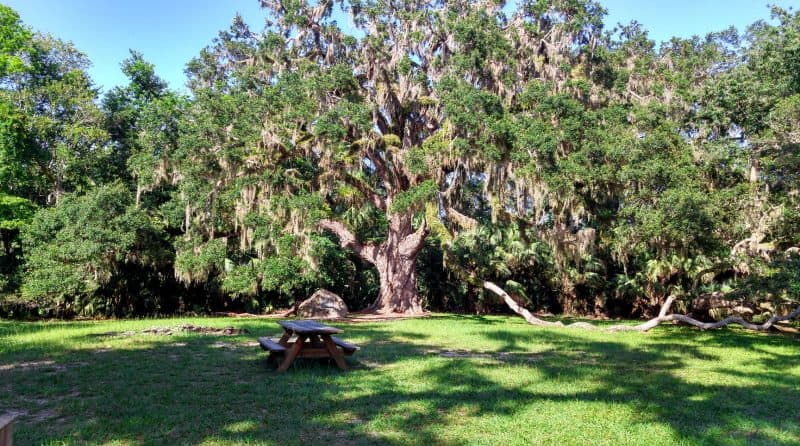Fairchild Oak, at Bulow Creek State Park.